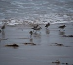 Sanderling at Llanddwyn, Newborough